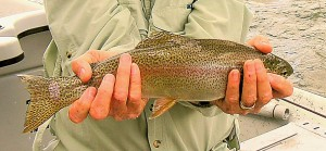 "Rainbow Trout 15"" - Madison River, MT"