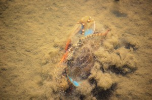 Blue Crab on the move.