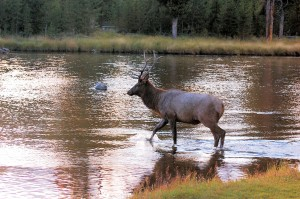 Elk Crossing the Firehole River