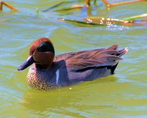 Green Winged-teal
