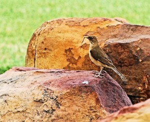 1 Clay-colored Thrush