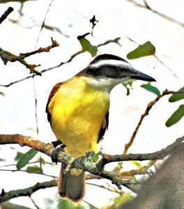 1 Great Kiskadee