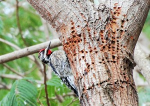 11 Yellow-bellied Sapsucker
