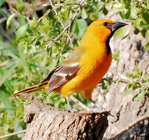 13 Hooded Oriole