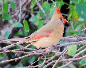 3 Northern Cardinal- Female