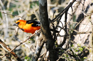 6 Hooded Oriole