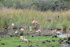 Roseate Spoonbills & A variety of Ducks