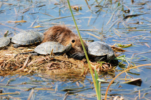Nutria & Red-eared Slider Terrapins