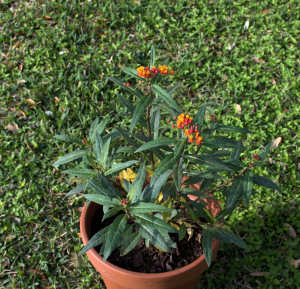 MILKWEED PLANT - MARCH 11 BEGINS THE PROJECT