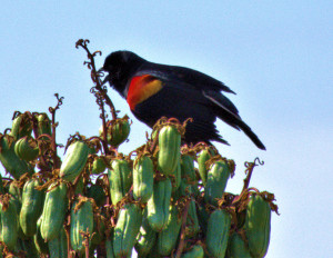 1 Red-winged Blackbird