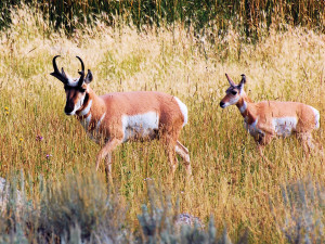 Pronghorns, Yellowstone NP, WY
