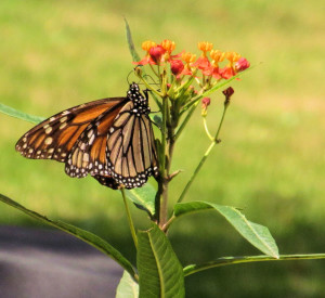 MONARCH LAYING EGGS - STAGE ONE