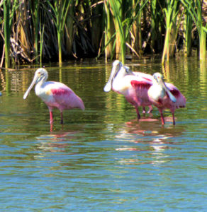 A Bowl of Roseate Spoonbill