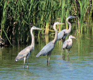 A Battery of Great Blue Heron
