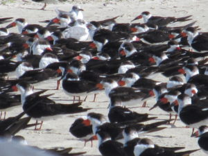 A Conspiracy of Black Skimmer