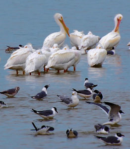 A Squadron of White Pelican and A Flotilla of Gull