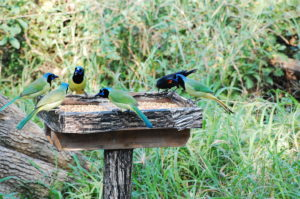 A Cast of Green Jay