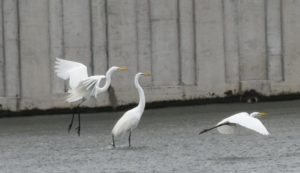 A Congregation of Great Egret