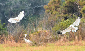 A Swoop of whooping Crane